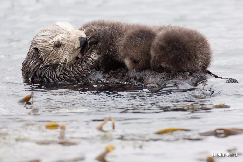 mother-sea-otter-with-twins