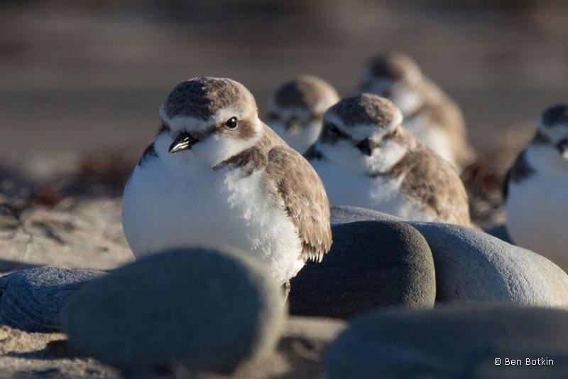 snowy-plover-group